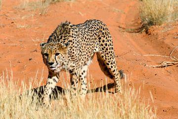 Gepard in Namibia van