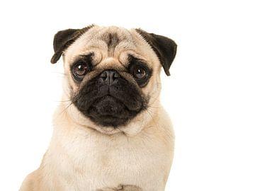 Mooie mops / Quite pug von Elles Rijsdijk
