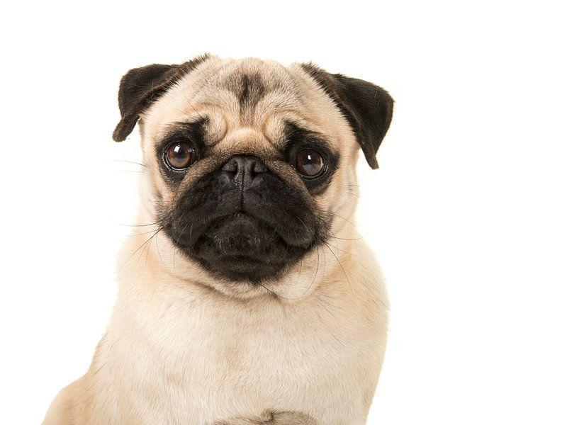 Mooie mops / Quite pug van Elles Rijsdijk