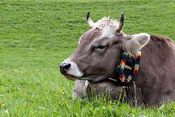 Die Miggelige von kuh-bilder.de
