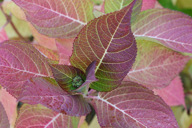 gekleurde bladeren van de hortensia van Frans Versteden