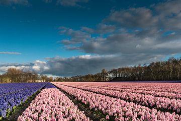 Bollenveld met blauwe en roze hyacinten van Peet Romijn