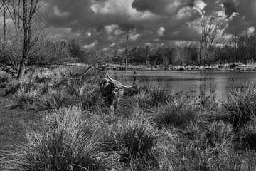 Schotse hooglander in Broekpolder van Marcel van Berkel