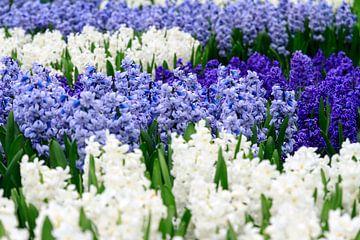 Blauwe en witte hyacinten  van Dennis van de Water