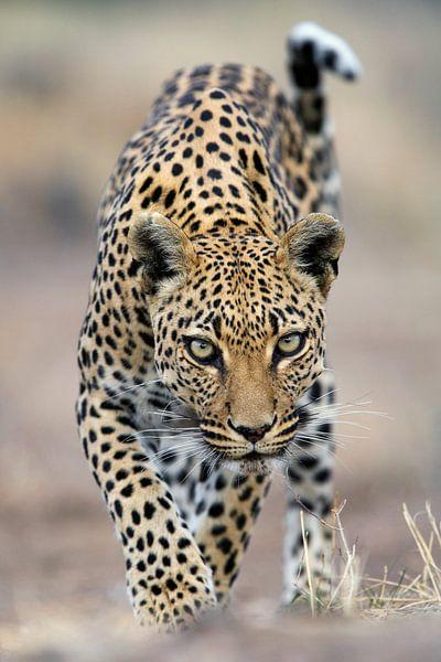 Luipaard (Panthera pardus) lopend naar de camera van Nature in Stock