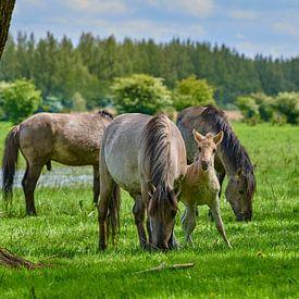 Konikpaard veulen zoekt steun van Jenco van Zalk