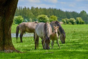 Konik-Pferdefohlen sucht Unterstützung von Jenco van Zalk