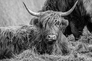 Schotse Hooglander von Thomas Paardekooper