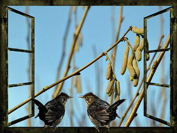 Vues de la fenêtre  - les appels merle au printemps  sur Christine Nöhmeier