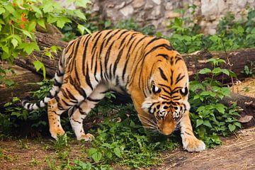 Wunderschöne kräftige große Tigerkatze (Amurtiger) auf dem Hintergrund von sommergrünem Gras und Ste von Michael Semenov