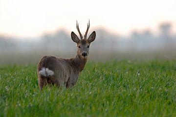 Roebuck ( Capreolus capreolus ), hoofdstad zes, staat in jonge tarwe en kijkt rond, wild, Europa. van wunderbare Erde