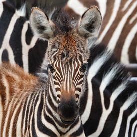 Zebra veulen van Eye to Eye Xperience By Mris & Fred