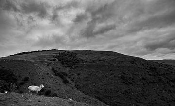 New Zealand Sheep on Mountain von Studio W&W