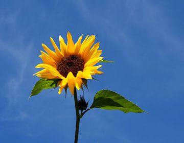 Sonnenblume van Roland Klinge