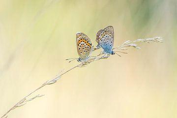 Accouplement de papillons sur Francis Dost