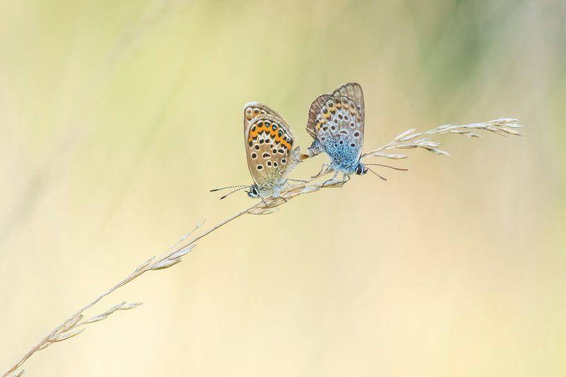 Parende vlinders van Francis Dost
