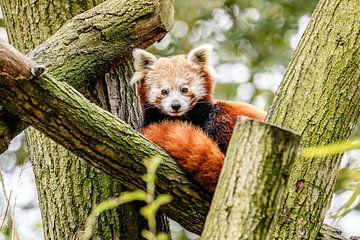 Rode Panda von Jack Brekelmans