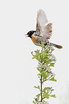 Wegvliegende roodborsttapuit op een bloesemstruik van Fotografie Jeronimo