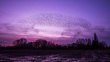 Duizenden spreeuwen van Danny Slijfer Natuurfotografie