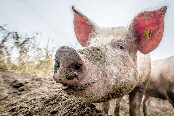 EKO-scharrelvarken #5 van Michiel Leegerstee