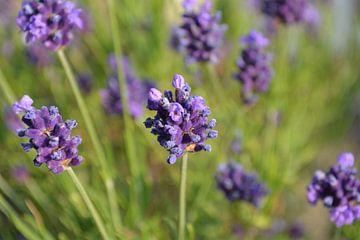 Franse Lavendel von Tim Jung