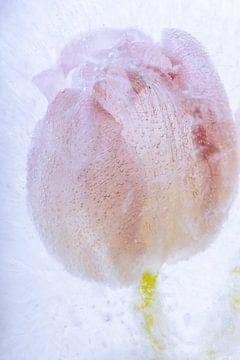 Tulpe in kristallklarem Eis 2 von Marc Heiligenstein