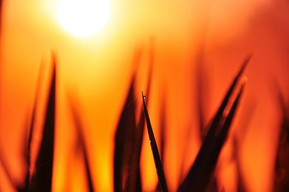 Gras in de opkomende zon
