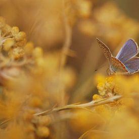 Blauwtje in het geel van Margreet Frowijn