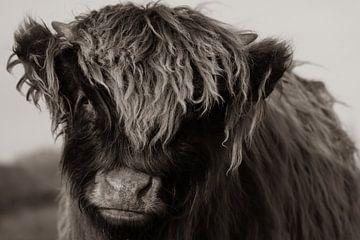 Jonge Schotse hooglander (Sepia) van Latifa - Natuurfotografie
