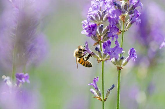 Bij tussen de lavendel