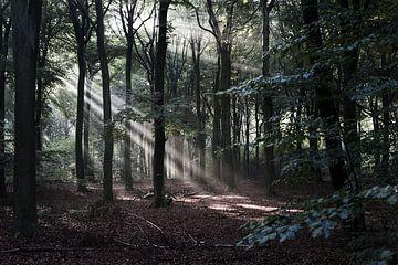 Ochtendgloren in het bos van DuFrank Images