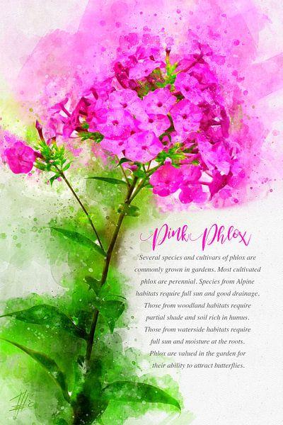 Rosa Phlox von Theodor Decker