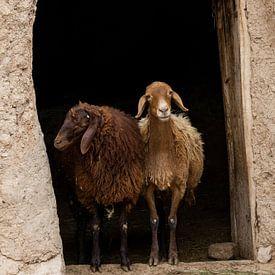 Zwei Schafe von Daan Kloeg