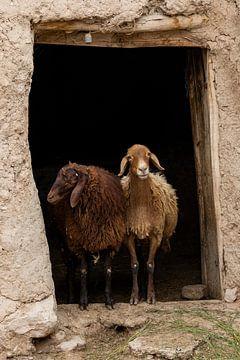 Twee schapen van Daan Kloeg