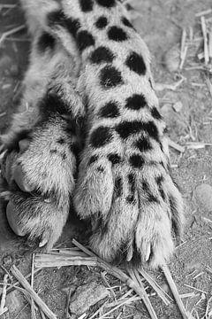 Nahaufnahme Gepardenbeine mit Krallen schwarz-weiß von Bobsphotography