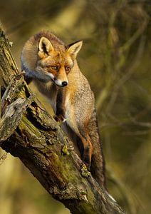 Vos klimmend in een boom