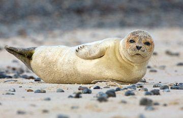 Jonge zeehond poseert voor de camera. van Menno Schaefer
