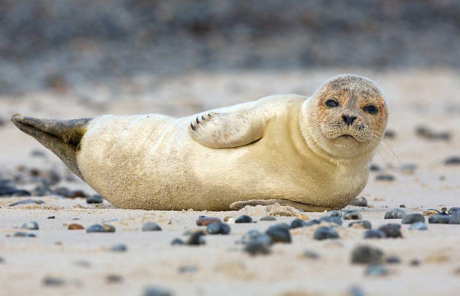 Jonge zeehond poseert voor de camera.