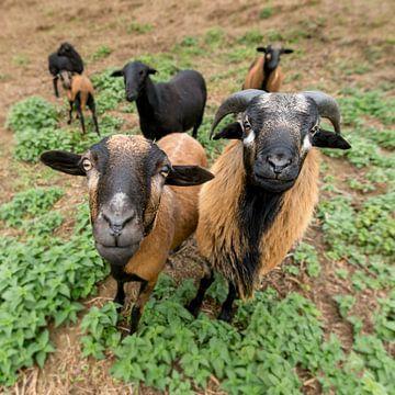 Zwei Kamerunschafe (weiblich und männlich) stehen nebeneinander auf der Weide  e pasture von Hans-Jürgen Janda