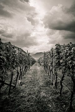 Wijnranken in perspectief van Stephanie Verbeure