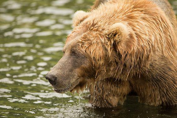 Bruine beer aan het vissen