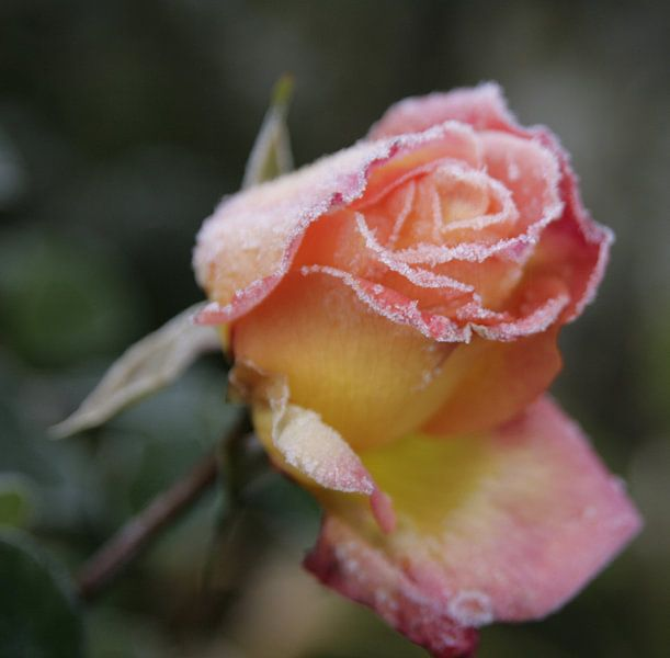 De Roos van Betty Heideman