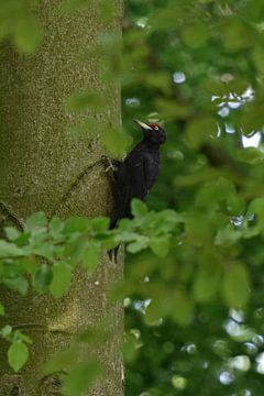 Schwarzspecht ( Dryocopus martius ) sitz verborgen zwischen grünen Blättern am Stamm einer Rotbuche von wunderbare Erde