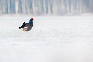 Vogels |  Korhoen in de sneeuw - Natuur Estland