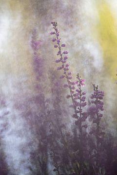 Heather, Erica - Calluna vulgaris 1 sur Danny Budts