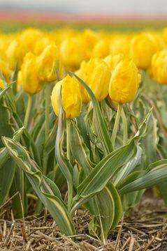 Tulpe von Jeffry Clemens