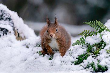 Eichhörnchen im Schnee. von Albert Beukhof