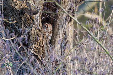 Waldkauz in einem hohlen Baum von Merijn Loch