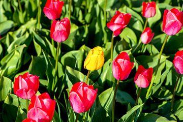 falsche Tulpe, Holland von Jan Fritz