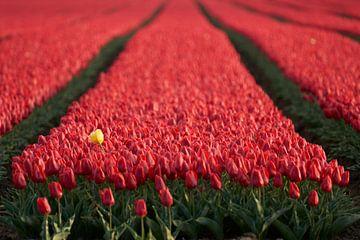 Gelbe Tulpe im roten Tulpenfeld von Cor de Hamer